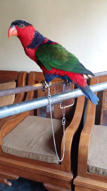 Rantai Snake Chain Untuk Burung Nuri Kepala Hitam Omparrot Com
